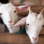 The Bizarre True Story Of The 'Goat Gland Doctor'