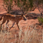 """The Messed Up True Story Of """"A Dingo Got My Baby"""""""