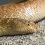 Arabian Sand Boa Is a Snake With The Funniest Face Ever
