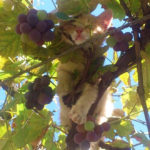 Summer Is In Full Swing, Cats Are Ripening In Trees, Soon To Be Harvested