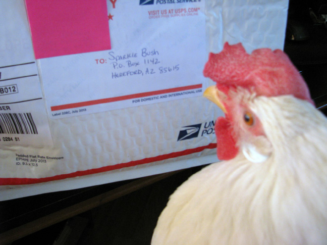 Chicken reading a letter.
