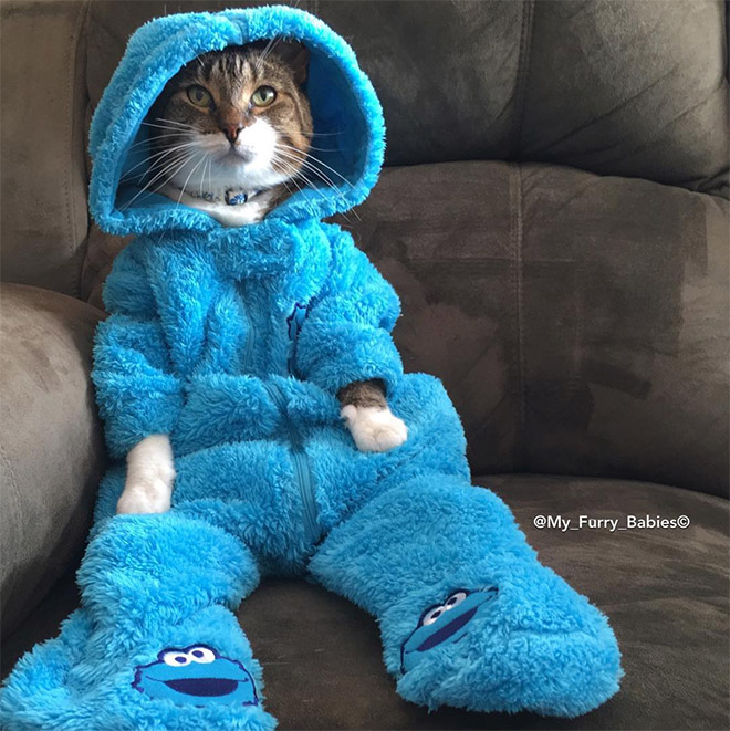 Cookie Monster onesie wearing cat.