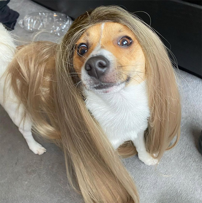 Dog in a wig.