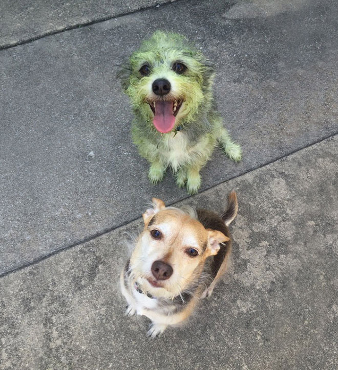 This picture are not photoshopped. Freshly cut grass will really turn your dog into The Hulk.