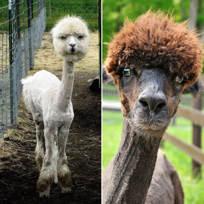 Alpacas are truly majestic animals.