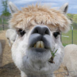 """""""Alpacas of Instagram"""" Celebrates The Majestic Beauty of These Dignified Animals"""