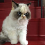 Meet The New Grumpy Cat That Looks Even Angrier Than Her Predecessor