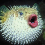 Puffer Fish With Trump's Mouth