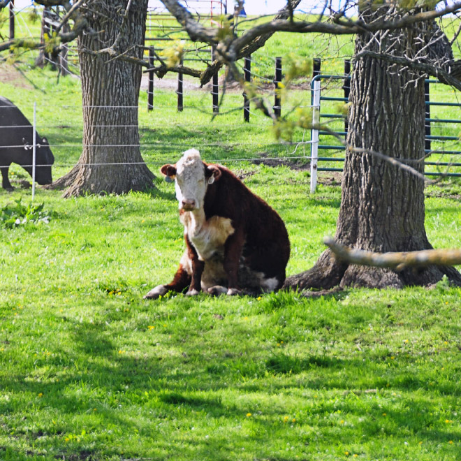 Cow sitting like a dog.