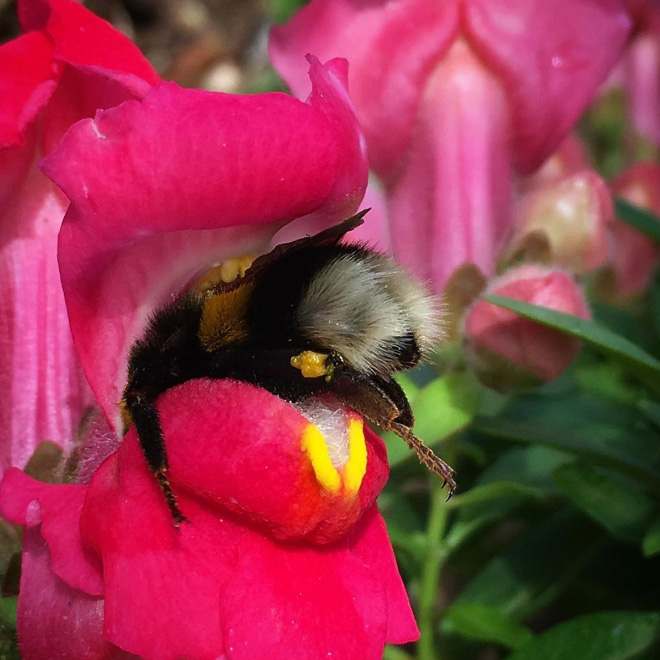 Tired bumblebee who fell asleep in a flower.