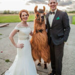 Did You Know That You Can Rent Llamas For Your Wedding?
